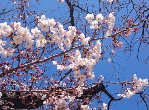 今日の桜②