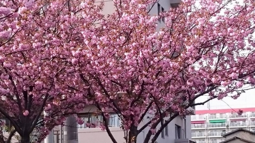 綺麗に咲いた八重桜