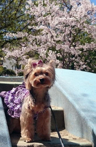 27年の桜と凜
