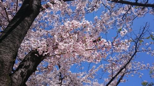 桜の色が綺麗