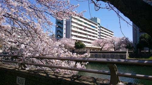 運河沿いの桜②