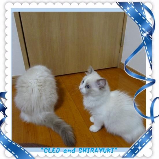 C白雪クレオ20150604IMG_1652