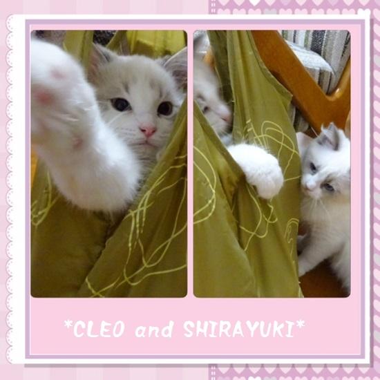 C白雪クレオ20150629IMG_2117