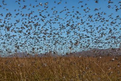 locust-swarmロシア、アストラハン地域でイナゴの大群