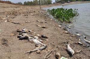 dead-fish-vietnam.jpg