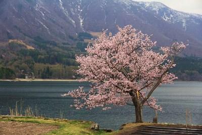 20140429青木湖一本サクラ