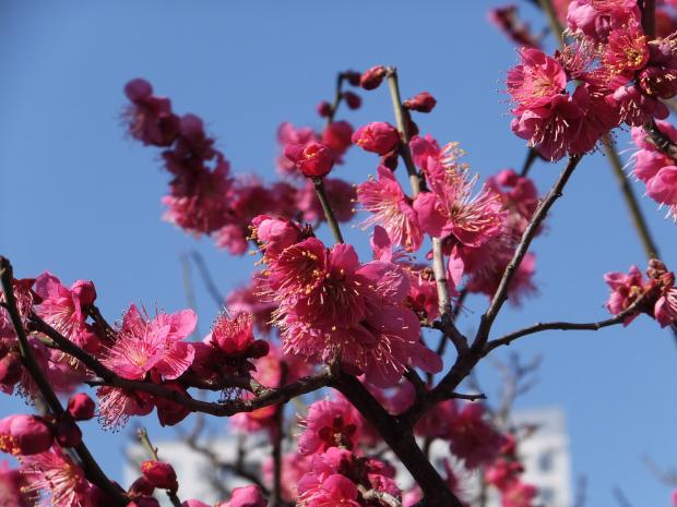①ラゾーナ裏の紅梅