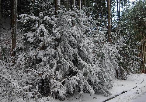クリスマスツリーみたいのスギ