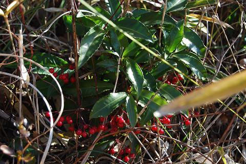 マンリョウの赤い実が