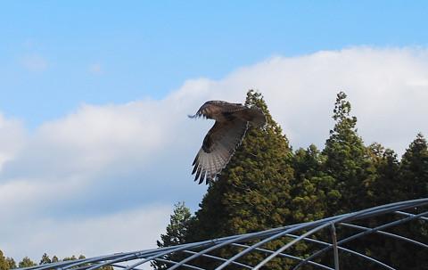 ミサゴが羽を開いた