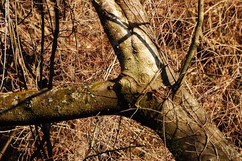 イイギリの木肌