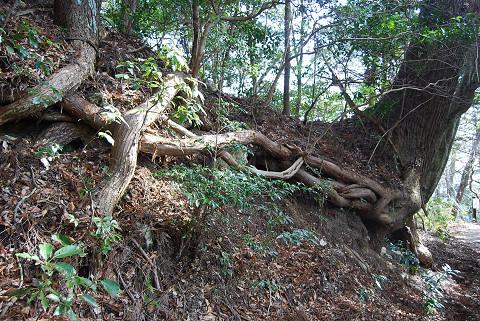 杉の巨木の根がすごい