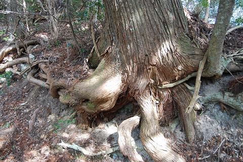 杉の巨木のすごい根