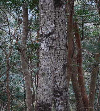 この木肌の木は?