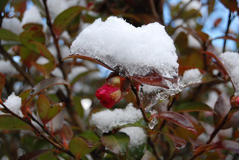 雪が積もった花