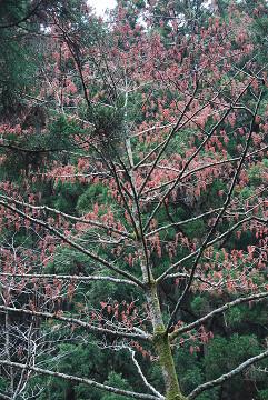 イイギリの巨木が
