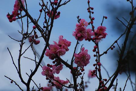 ピンクの梅が