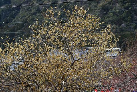 ロウバイの大きな木が