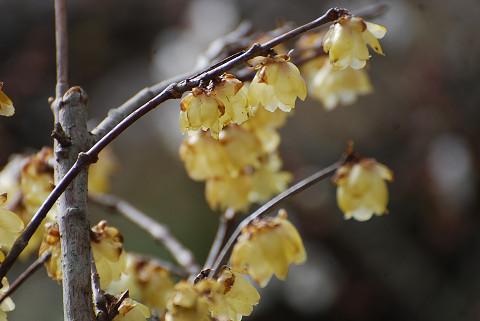 ロウバイの花をアップ