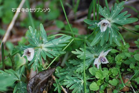 セツブンソウが咲いていた1