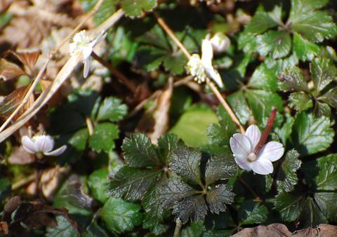 バイカオウレンの小さい花が