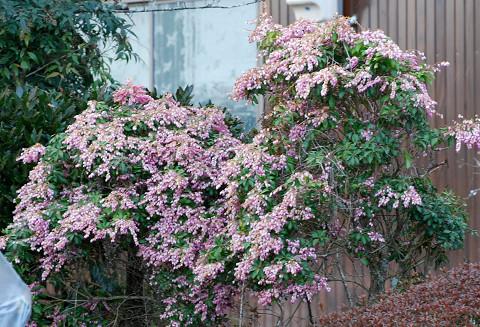 ピンクのアセビの花が