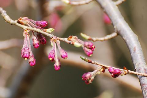 枝垂れ桜の花芽が