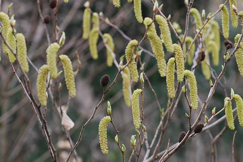 オオバヤシャブシの雄花が