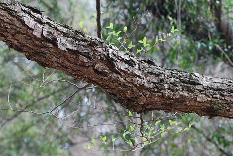 オオバヤシャブシの木肌が