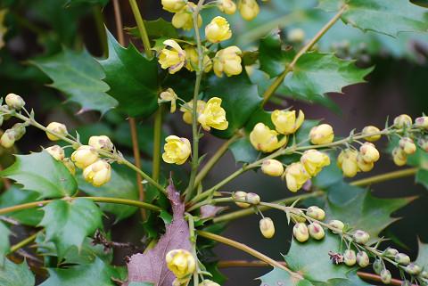 ヒイラギナンテンの花がきれい