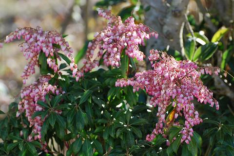 ピンクのアセビの花が (2)
