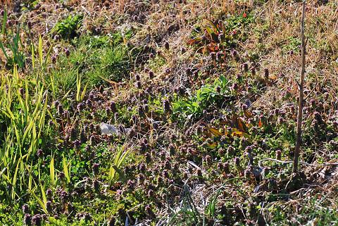 ヒメオドリコソウの大群落