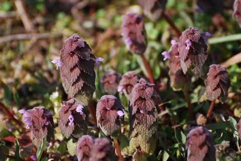 ヒメオドリコソウの花が