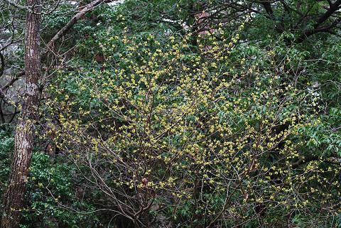 シロモジの開花が