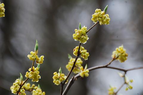 シロモジの花がきれい