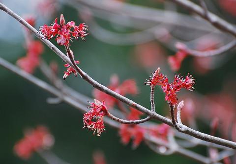 ハナノキの花をアップ