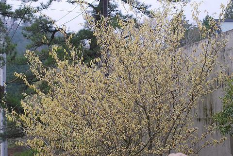 トサミズキの花がいっぱい