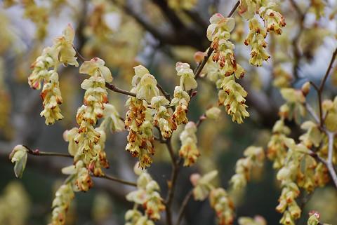トサミズキの花をアップ
