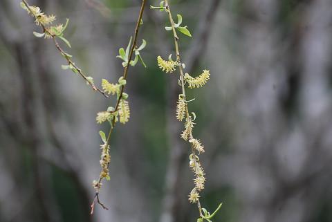 シダレヤナギの穂が