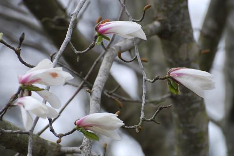 コブシの花が