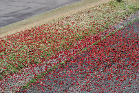花が散って道が赤く