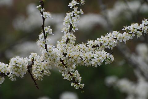 プラムの花がびっしり