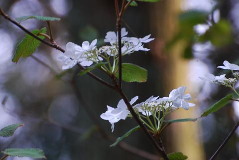 ムシカリの白い花が