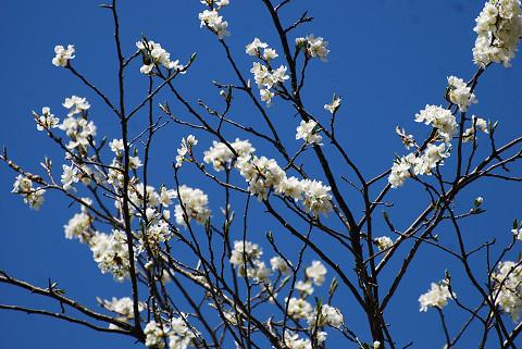 ズミの花がきれい