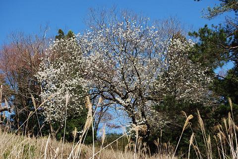 ズミの木に花