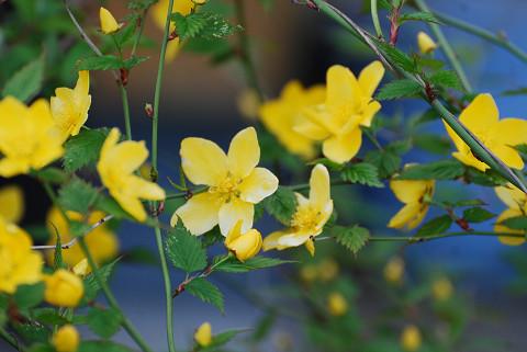 ヤマブキに花が