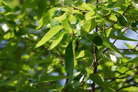 アベマキの葉が