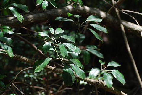 ムベの葉が