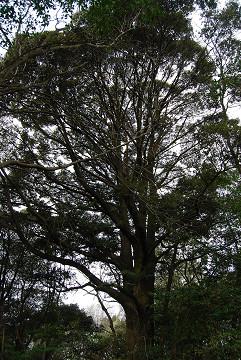 ツブラジイの巨木暗い森