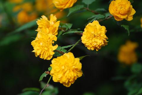 ヤエヤマブキの花が
